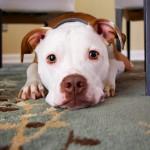 犬猫に消毒薬は基本使いません。ビーグル獣医が傷を消毒をしない訳とは?